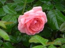 Trandafir in ploaie