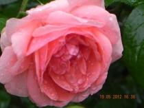 Rose - Picaturi de ploaie