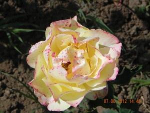 Trandafir galben cu picatele